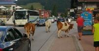 """""""Święte"""" krowy"""