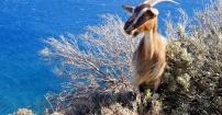 Dzikie kozy - nie takie dzikie :)